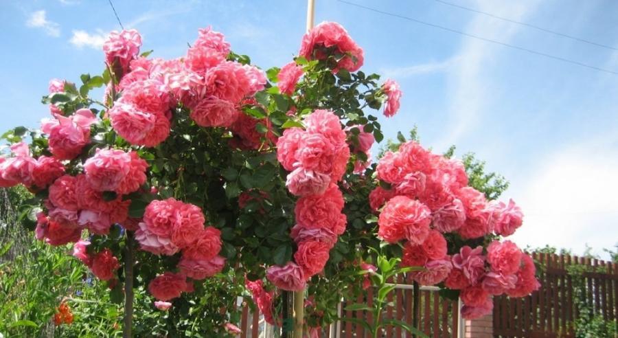 Любов і троянди - частина 4 Ніжність, Небо, Природа, Кущ, Роса, Квіти, Троянди, Любов / Кохання, Схід, Сонце id1673004146