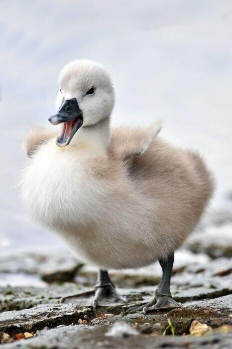 Красені лебеді - частина 7 Природа, Озеро, Позитив, Вода, Літо, Царство Природи, Сонце, Схід, Лебеді, Вірність id1656807491