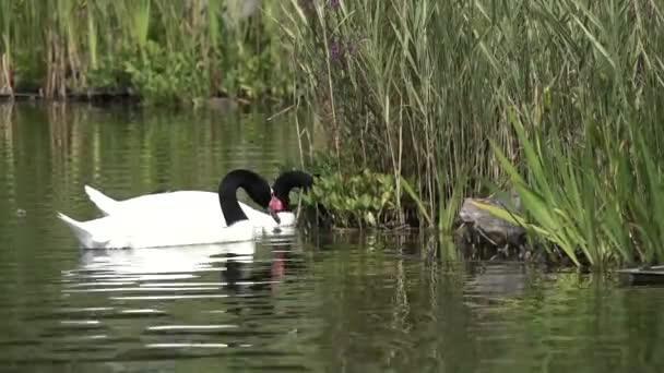 Красені лебеді - частина 7 Природа, Озеро, Позитив, Вода, Літо, Царство Природи, Сонце, Схід, Лебеді, Вірність id1024282759