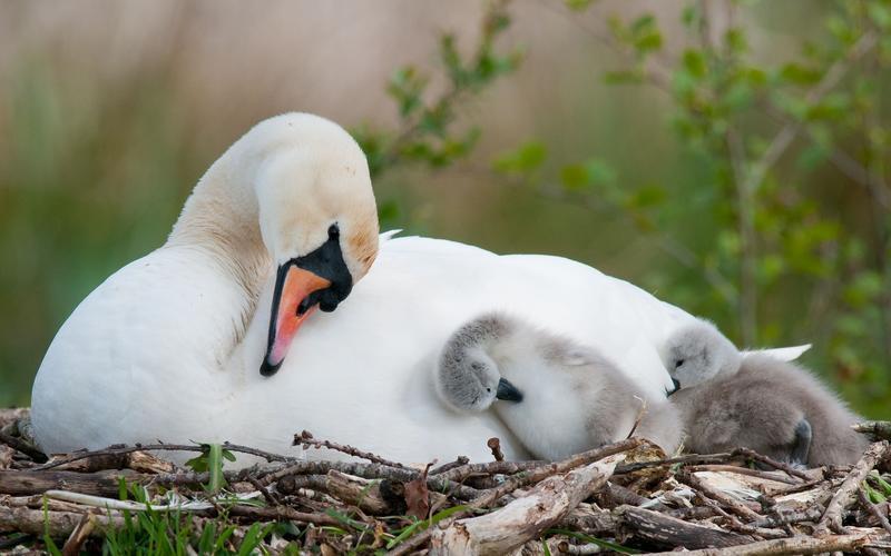Красені лебеді - частина 7 Природа, Озеро, Позитив, Вода, Літо, Царство Природи, Сонце, Схід, Лебеді, Вірність id1650515265