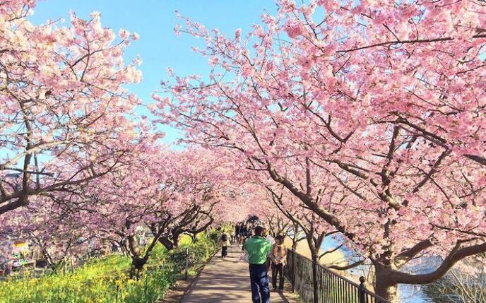 Знайомства Японія. Краса цвітіння сакури id566763605