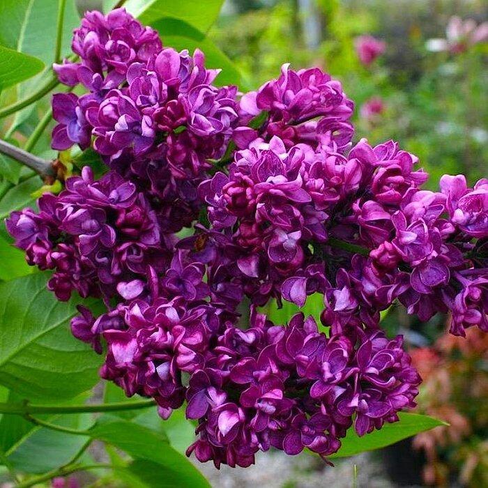 Дивовижна краса природи - частина 8 Тюльпани, Бузок, Небо, Природа, Квіти, Захід, Схід id1122941624