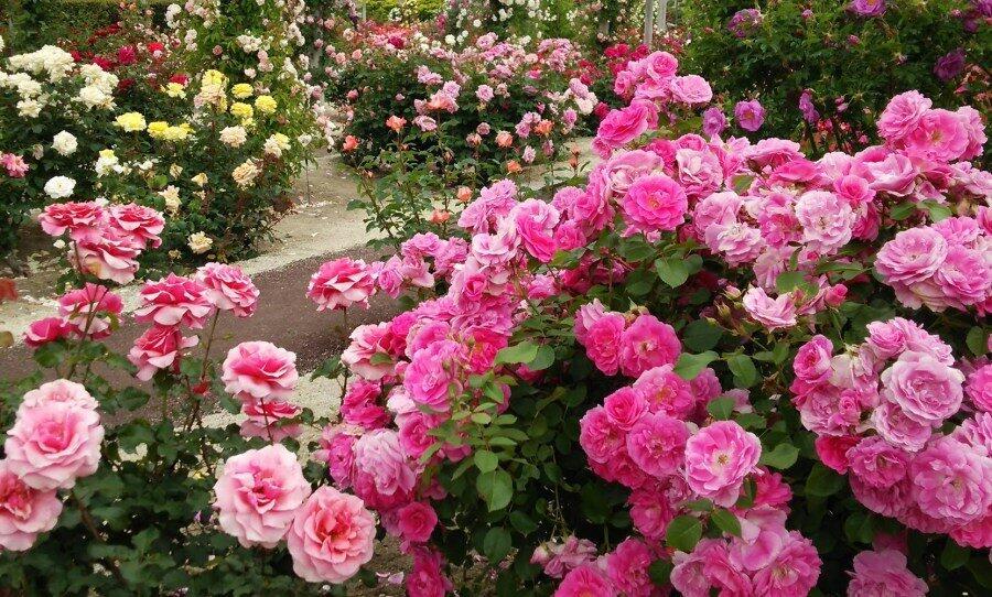 Чарівність троянд - частина 4 Ніжність, Краса, Природа, Сад, Кущ, Квіти, Троянди, Любов / Кохання id2095992132