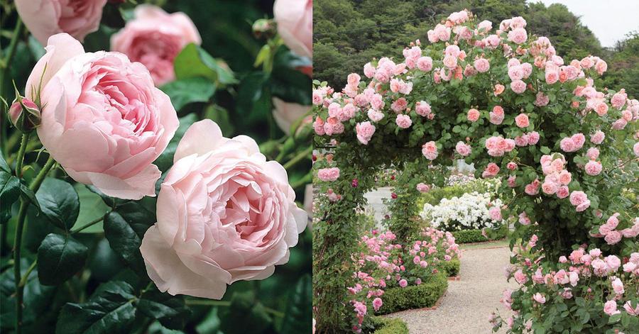 Чарівність троянд - частина 4 Ніжність, Краса, Природа, Сад, Кущ, Квіти, Троянди, Любов / Кохання id588200116