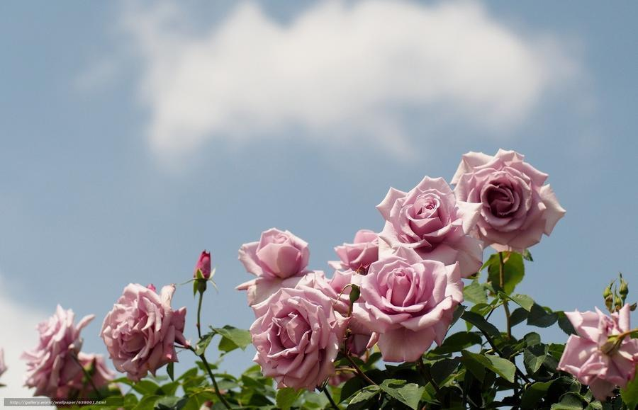 Любов і троянди - частина 1 Ніжність, Небо, Природа, Сад, Кущ, Квіти, Троянди, Любов / Кохання, Схід, Сонце id1201368153