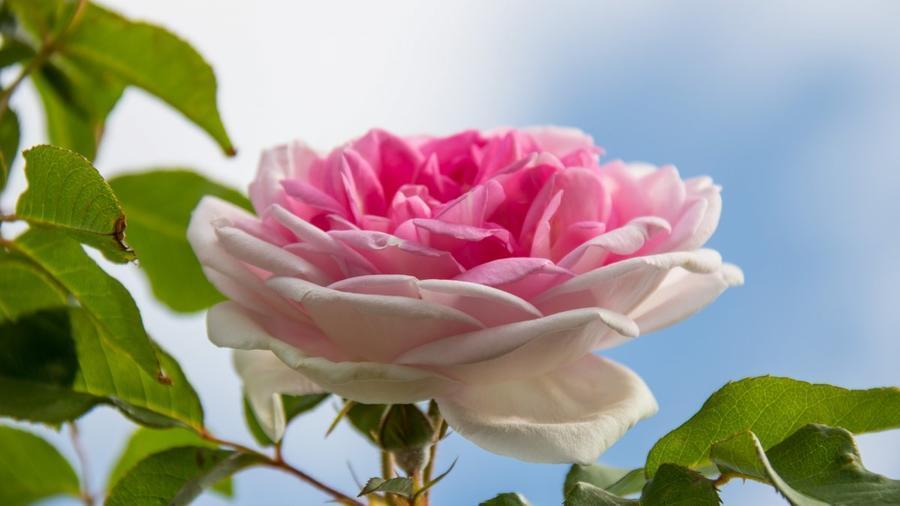 Любов і троянди - частина 3 Ніжність, Небо, Природа, Сад, Кущ, Квіти, Троянди, Любов / Кохання, Схід, Сонце id1353783734