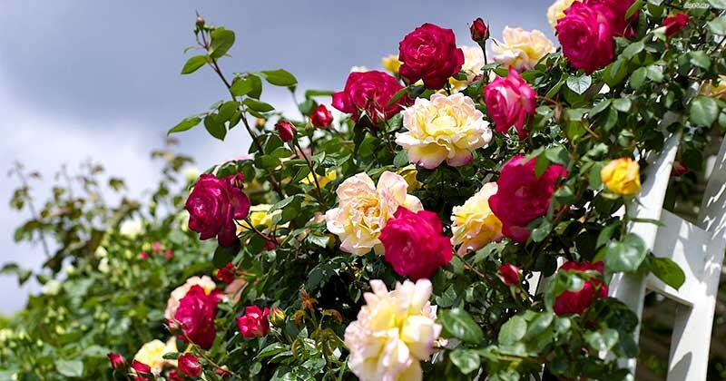 Любов і троянди - частина 3 Ніжність, Небо, Природа, Сад, Кущ, Квіти, Троянди, Любов / Кохання, Схід, Сонце id1981402423