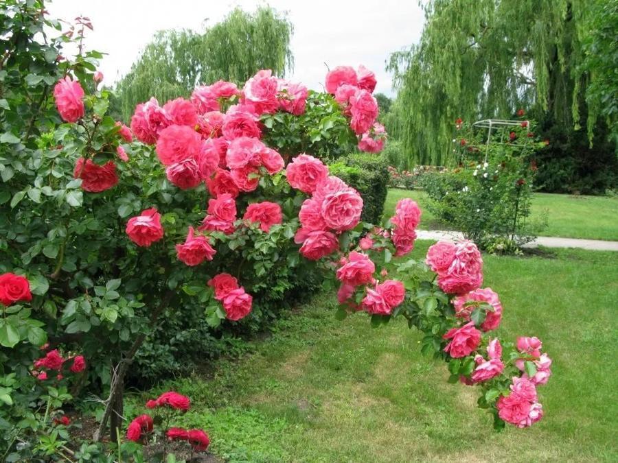 Любов і троянди - частина 3 Ніжність, Небо, Природа, Сад, Кущ, Квіти, Троянди, Любов / Кохання, Схід, Сонце id723657367