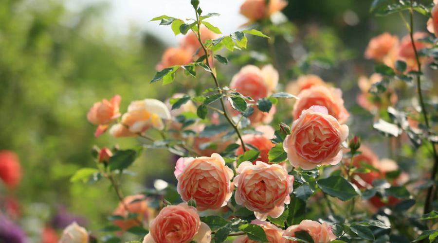 Любов і троянди - частина 4 Ніжність, Небо, Природа, Кущ, Роса, Квіти, Троянди, Любов / Кохання, Схід, Сонце id275812143