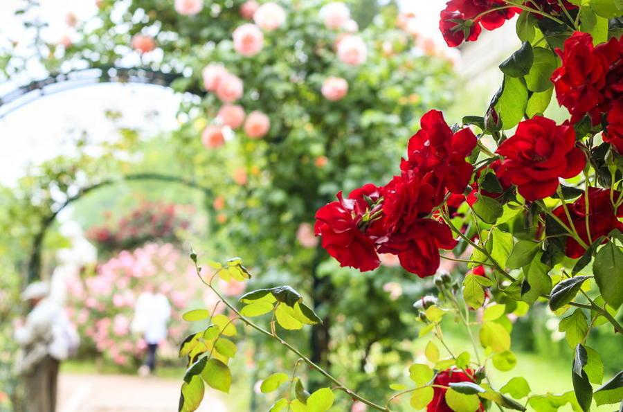 Любов і троянди - частина 4 Ніжність, Небо, Природа, Кущ, Роса, Квіти, Троянди, Любов / Кохання, Схід, Сонце id1737935512