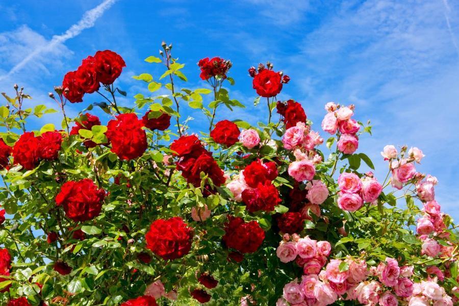 Любов і троянди - частина 4 Ніжність, Небо, Природа, Кущ, Роса, Квіти, Троянди, Любов / Кохання, Схід, Сонце id1497351289