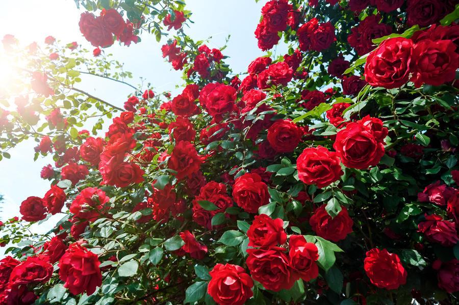 Любов і троянди - частина 4 Ніжність, Небо, Природа, Кущ, Роса, Квіти, Троянди, Любов / Кохання, Схід, Сонце id2106265466