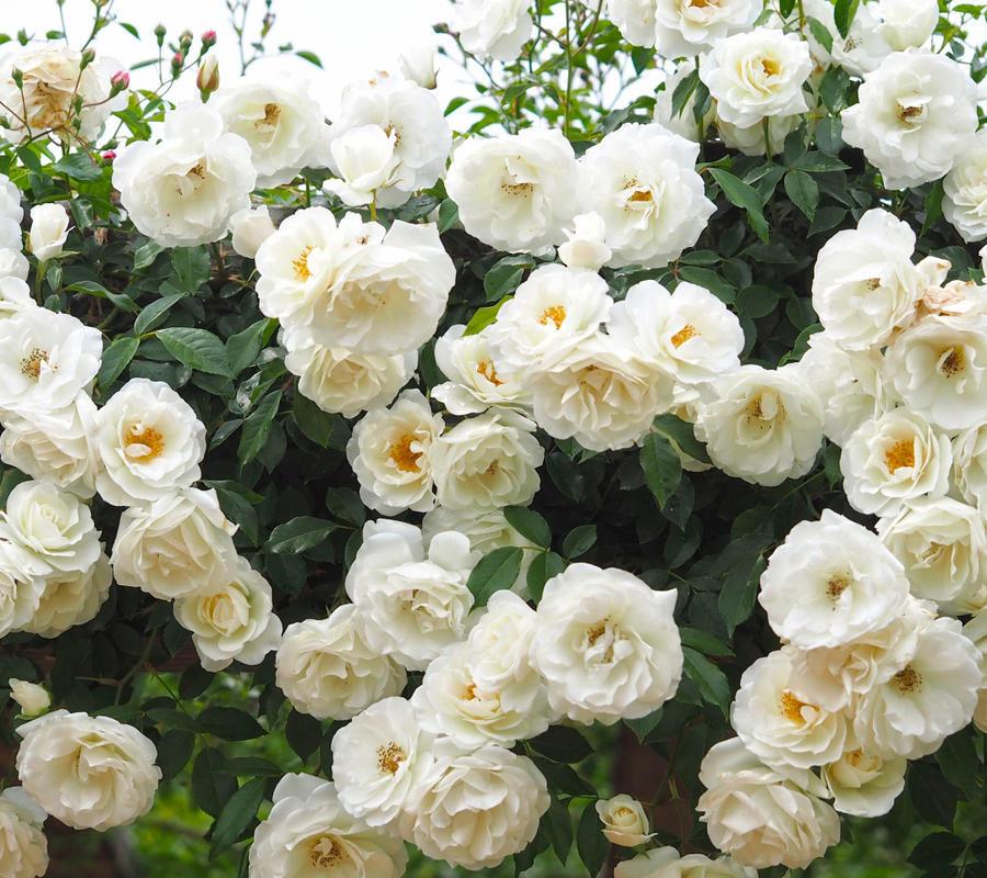 Любов і троянди - частина 4 Ніжність, Небо, Природа, Кущ, Роса, Квіти, Троянди, Любов / Кохання, Схід, Сонце id1838511703