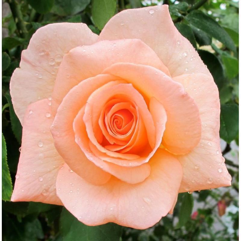 Любов і троянди - частина 7 Ніжність, Небо, Природа, Кущ, Роса, Квіти, Троянди, Любов / Кохання, Схід, Сонце id540693515