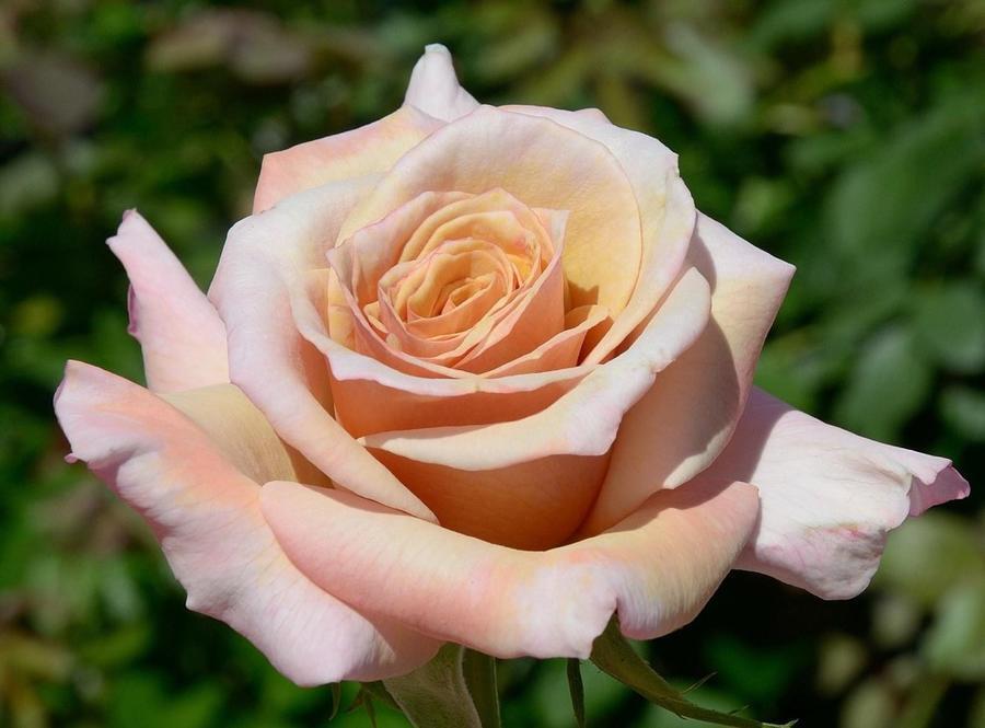 Любов і троянди - частина 7 Ніжність, Небо, Природа, Кущ, Роса, Квіти, Троянди, Любов / Кохання, Схід, Сонце id997258892