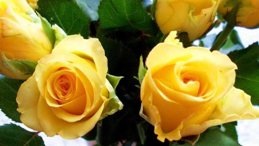 Любов і троянди - частина 7 Ніжність, Небо, Природа, Кущ, Роса, Квіти, Троянди, Любов / Кохання, Схід, Сонце id160177961