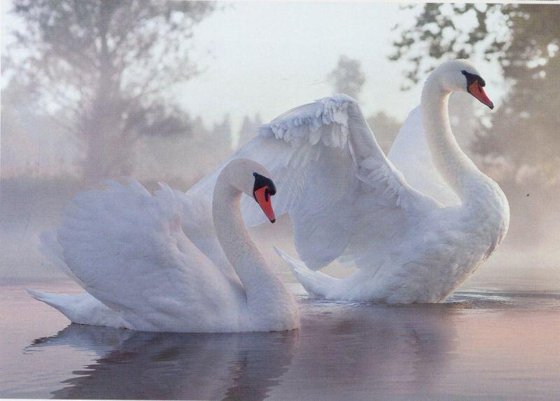 Красені лебеді - частина 1 Природа, Озеро, Позитив, Вода, Літо, Царство Природи, Сонце, Схід, Лебеді, Вірність id1600446126
