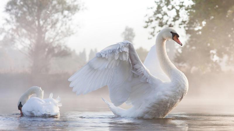 Красені лебеді - частина 1 Природа, Озеро, Позитив, Вода, Літо, Царство Природи, Сонце, Схід, Лебеді, Вірність id1371040735