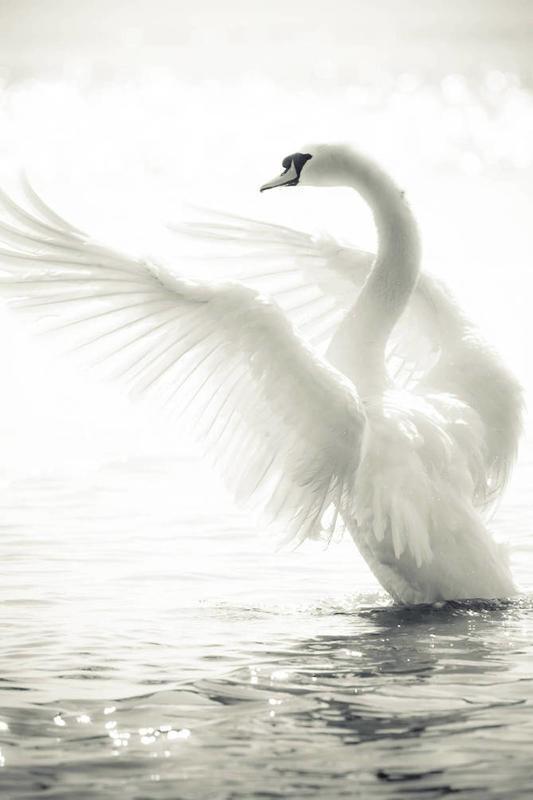 Красені лебеді - частина 1 Природа, Озеро, Позитив, Вода, Літо, Царство Природи, Сонце, Схід, Лебеді, Вірність id889857229