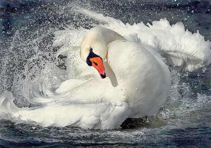 Красені лебеді - частина 1 Природа, Озеро, Позитив, Вода, Літо, Царство Природи, Сонце, Схід, Лебеді, Вірність id836770244