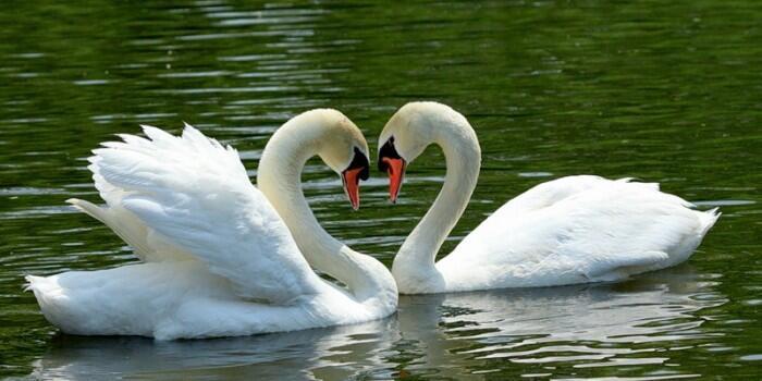 Красені лебеді - частина 2 Природа, Озеро, Позитив, Вода, Літо, Царство Природи, Сонце, Схід, Лебеді, Вірність id1588337009