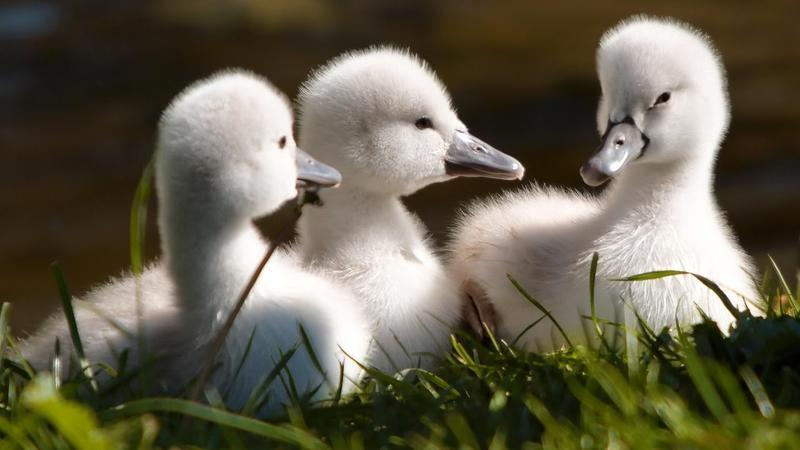 Красені лебеді - частина 2 Природа, Озеро, Позитив, Вода, Літо, Царство Природи, Сонце, Схід, Лебеді, Вірність id1575512880