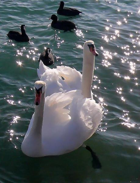 Красені лебеді - частина 2 Природа, Озеро, Позитив, Вода, Літо, Царство Природи, Сонце, Схід, Лебеді, Вірність id348714621