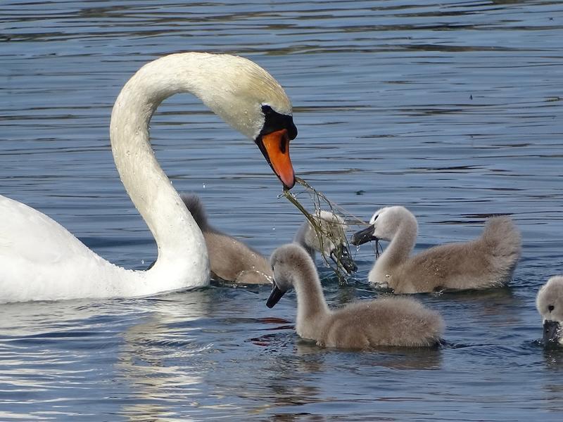 Красені лебеді - частина 2 Природа, Озеро, Позитив, Вода, Літо, Царство Природи, Сонце, Схід, Лебеді, Вірність id1776506191