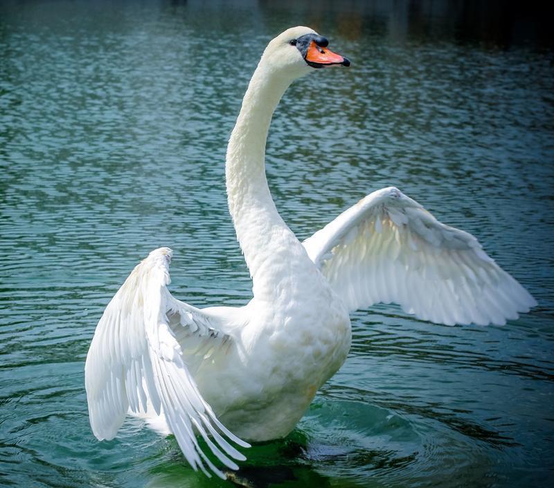 Красені лебеді - частина 4 Природа, Озеро, Позитив, Вода, Літо, Царство Природи, Сонце, Схід, Лебеді, Вірність id512663292