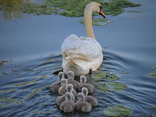 Красені лебеді - частина 4 Природа, Озеро, Позитив, Вода, Літо, Царство Природи, Сонце, Схід, Лебеді, Вірність id1988427089