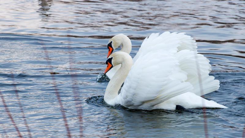 Красені лебеді - частина 5 Природа, Озеро, Позитив, Вода, Літо, Царство Природи, Сонце, Схід, Лебеді, Вірність id1097464394