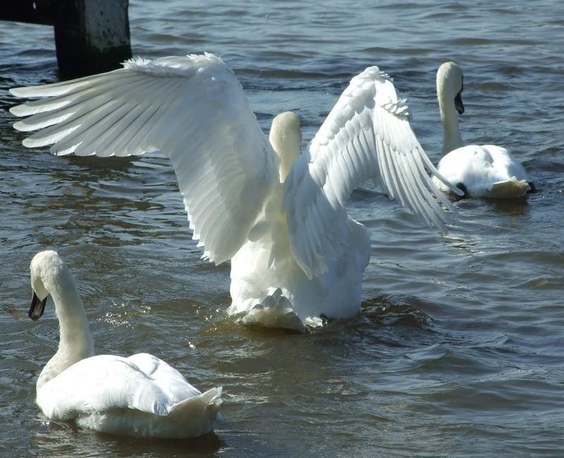 Красені лебеді - частина 5 Природа, Озеро, Позитив, Вода, Літо, Царство Природи, Сонце, Схід, Лебеді, Вірність id1021365977