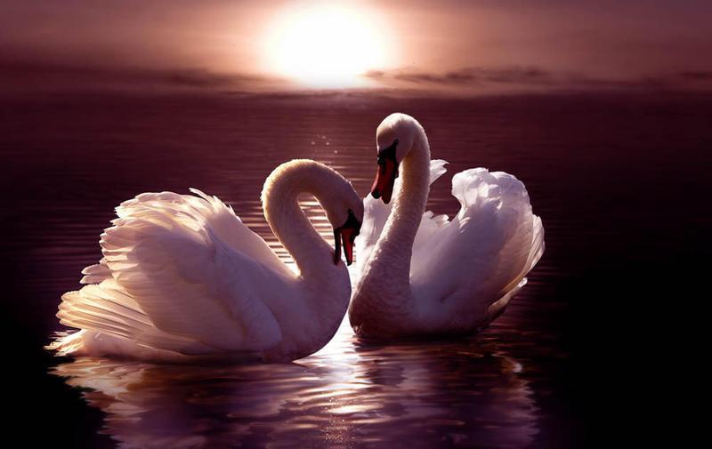 Красені лебеді - частина 5 Природа, Озеро, Позитив, Вода, Літо, Царство Природи, Сонце, Схід, Лебеді, Вірність id229144751