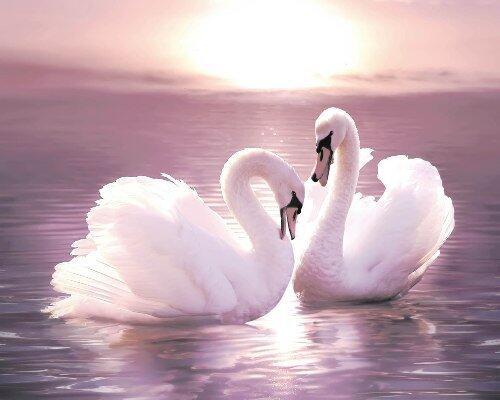 Красені лебеді - частина 6 Природа, Озеро, Позитив, Вода, Літо, Царство Природи, Сонце, Схід, Лебеді, Вірність id1568032251