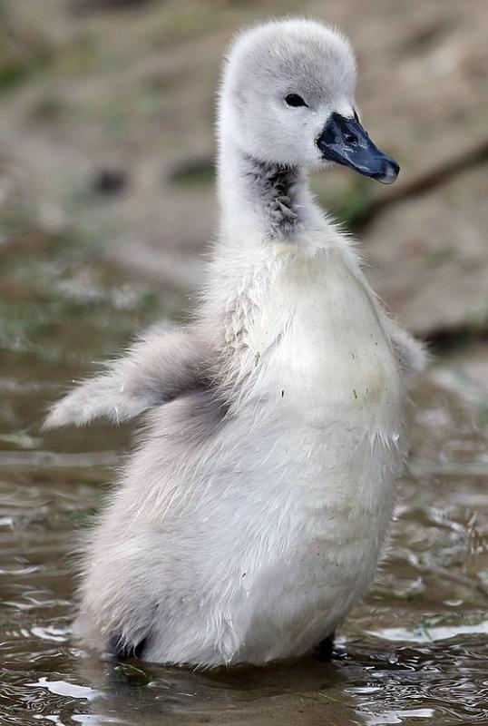 Красені лебеді - частина 7 Природа, Озеро, Позитив, Вода, Літо, Царство Природи, Сонце, Схід, Лебеді, Вірність id1476166721