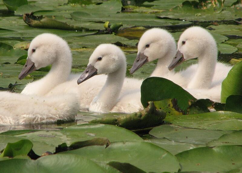 Красені лебеді - частина 7 Природа, Озеро, Позитив, Вода, Літо, Царство Природи, Сонце, Схід, Лебеді, Вірність id746305171