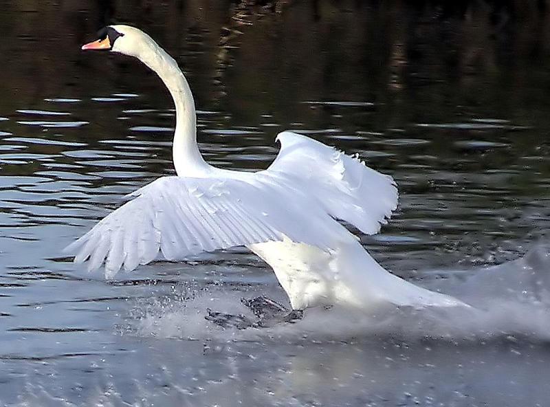 Красені лебеді - частина 8 Природа, Озеро, Позитив, Вода, Літо, Царство Природи, Сонце, Схід, Лебеді, Вірність id1132728246