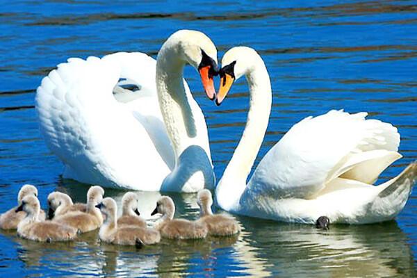 Красені лебеді - частина 8 Природа, Озеро, Позитив, Вода, Літо, Царство Природи, Сонце, Схід, Лебеді, Вірність id1909463401