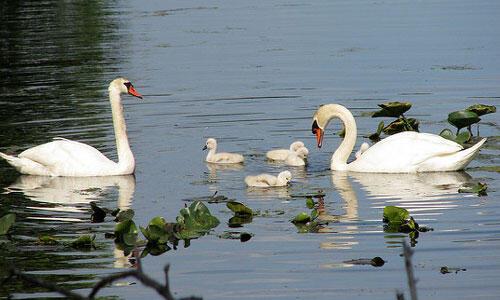 Красені лебеді - частина 8 Природа, Озеро, Позитив, Вода, Літо, Царство Природи, Сонце, Схід, Лебеді, Вірність id1915534700