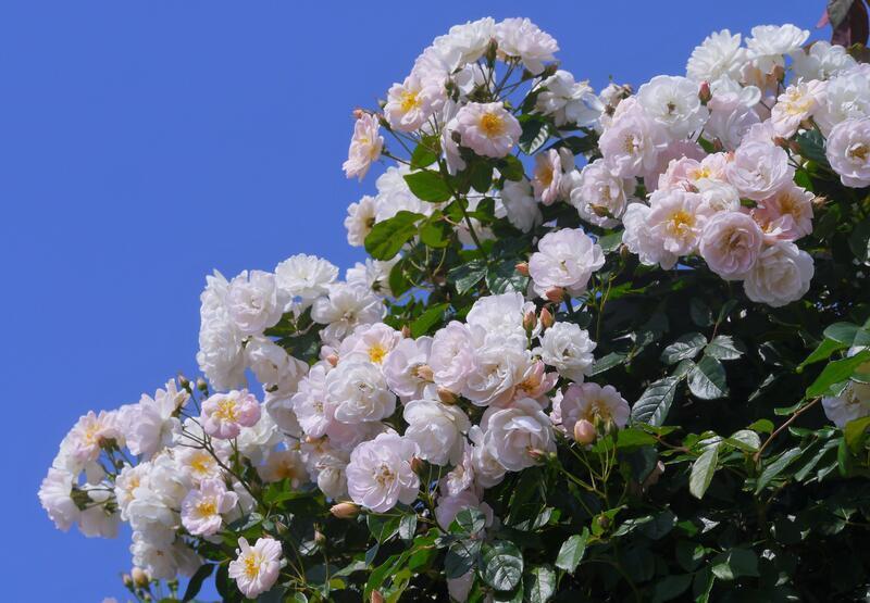 Знайомства і троянди - Богиня квіткового царства Природа, Квіти, Весна, Троянди, Любов / Кохання id152862234