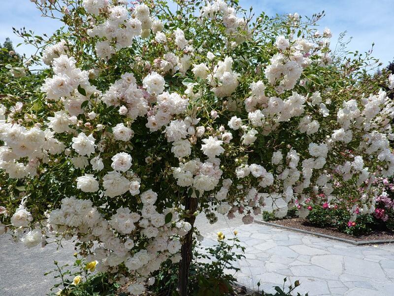 Знайомства і троянди - цікаві факти про троянди Природа, Квіти, Весна, Троянди, Любов / Кохання id337512351