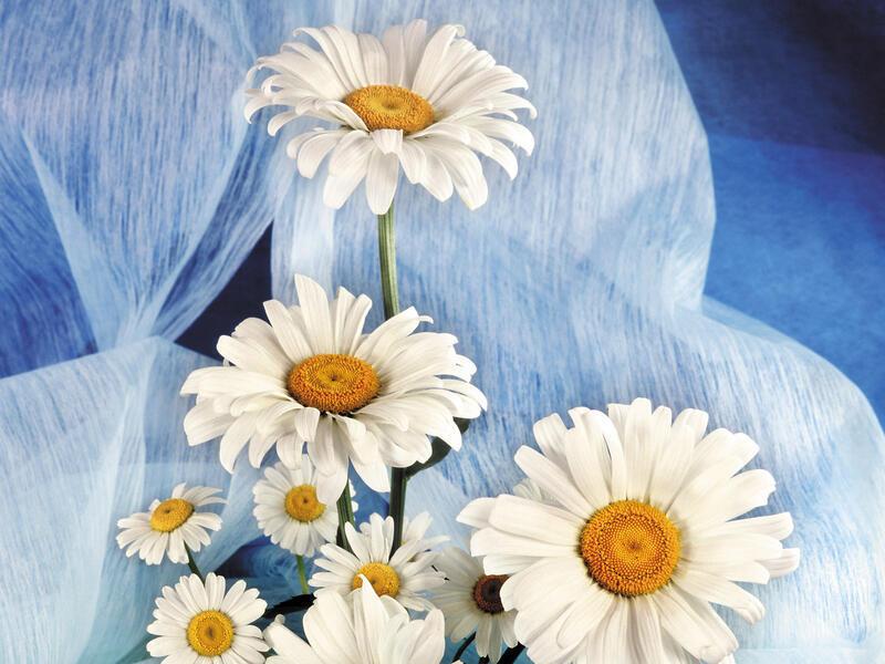 Любить - не любить Любов, Кохання, Царство Природи, Природа, Ромашки, Позитив id699625928