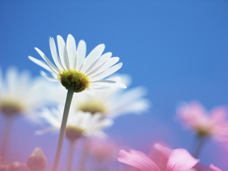Любить - не любить Любов, Кохання, Царство Природи, Природа, Ромашки, Позитив id504856165
