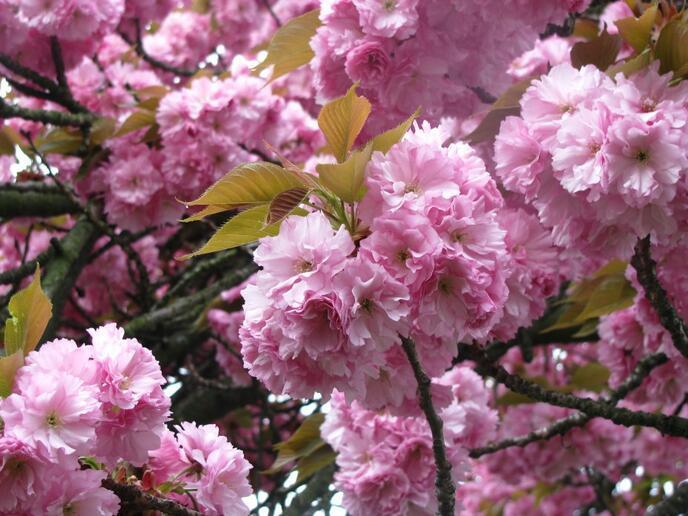 Знайомства Мукачево. Романтична зустріч і цвітіння сакури. id768927864