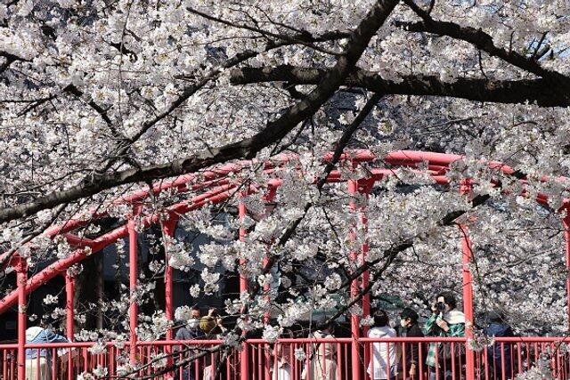 Знайомства Японія. Краса цвітіння сакури id1757546798