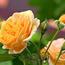 Любов і троянди - частина 5 Ніжність, Небо, Природа, Кущ, Роса, Квіти, Троянди, Любов / Кохання, Схід, Сонце id972400492