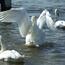 Красені лебеді - частина 5 Природа, Озеро, Позитив, Вода, Літо, Царство Природи, Сонце, Схід, Лебеді, Вірність id53563171