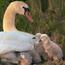 Красені лебеді - частина 8 Природа, Озеро, Позитив, Вода, Літо, Царство Природи, Сонце, Схід, Лебеді, Вірність id932684092
