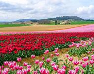 Поля тюльпанов в Нидерландах часть 3 Природа, Нидерланды, Цветы, Тюльпаны, Восток, Солнце, Небо id1325430951