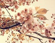 Дивовижна краса природи - частина 6 Сакура, Магнолія, Крокуси, Небо, Природа, Квіти, Захід, Схід, Черешня id1771902879